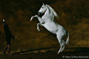 Pure-bred Spanish (Andalusian) stallion, Toreo, eleven years old. Farm of Chapelle-Fontaine of the Mario Luraschi, Chaalis, France.